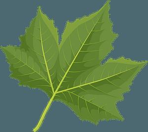 London plane tree green leaf clipart