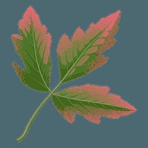 Paperbark maple autumn leaf clipart