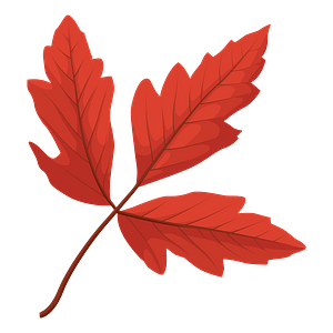 Paperbark maple red leaf clipart