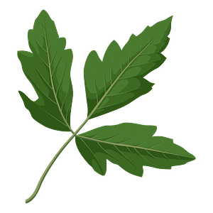 Paperbark maple green leaf clipart