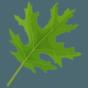Scarlet oak green leaf clipart