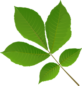 Shagbark hickory tree spring leaf clipart