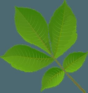 Shagbark hickory tree spring leaf clipart