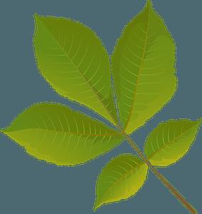 Shagbark hickory tree summer leaf clipart