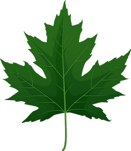 Silver maple green leaf clipart