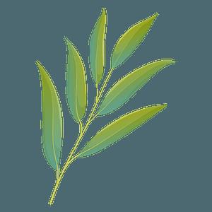 Willow oak summer leaf clipart