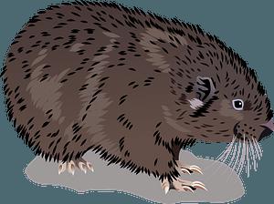 Mountain Beaver clipart