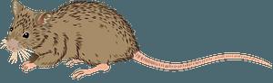 Shark Bay Mouse clipart