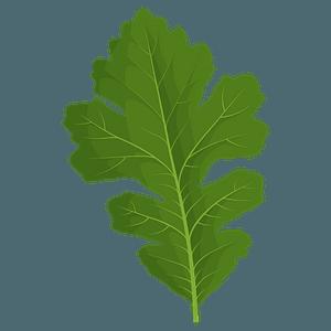 Bur oak green leaf clipart