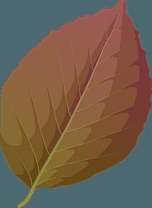 Copper beech summer leaf clipart