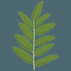 Honey locust spring leaf clipart