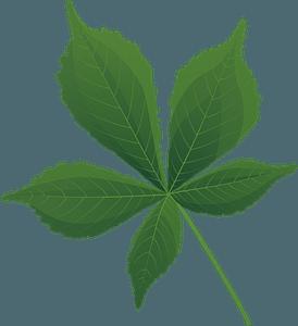 Horse chestnut summer leaf clipart