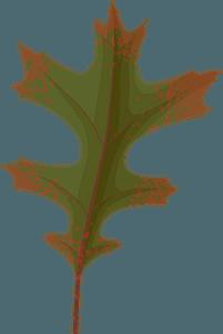 Pin oak autumn leaf clipart