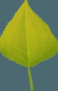 Quaking aspen autumn leaf clipart