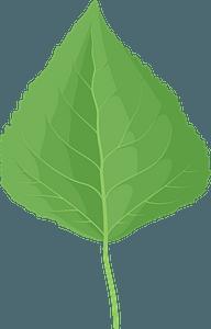 Quaking aspen green leaf clipart