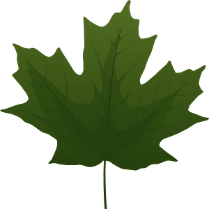 Sugar maple green leaf clipart
