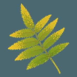Rowan tree yellow leaf clipart