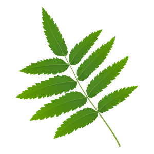 Rowan tree green leaf clipart