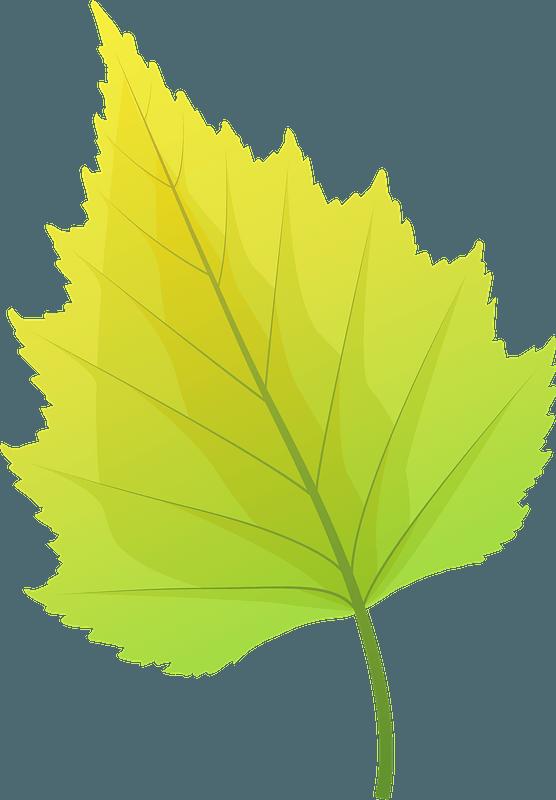 Silver birch autumn leaf clipart