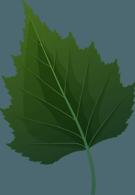 Silver birch green leaf clipart