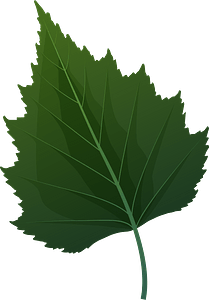 Silver birch green leaf clipart