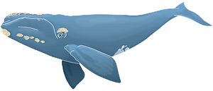 North Atlantic right whale clipart