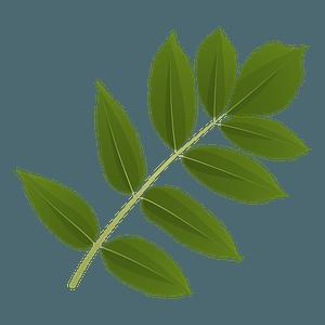 Ash tree green leaf clipart
