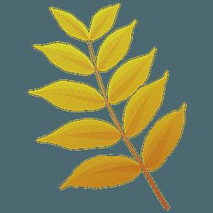Black walnut autumn leaf clipart