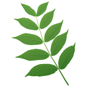 Black walnut spring leaf clipart