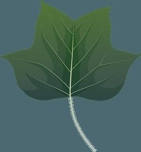 Tulip tree green leaf clipart