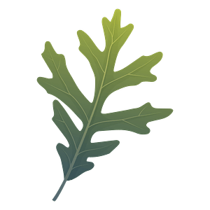 White oak summer leaf clipart