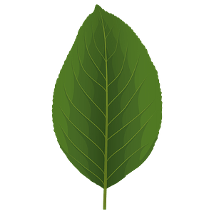 Pear tree green leaf clipart