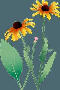 Black Eyed Susan Flower clipart