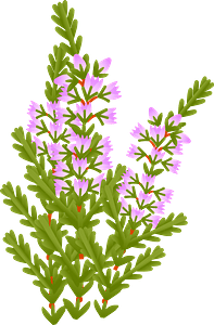 Heather flowers clipart