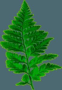 Fern leaf clipart