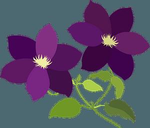 Clematis Flower clipart