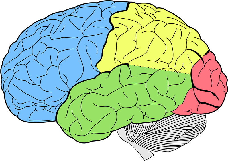 Lobes of the brain clipart. Free download transparent .PNG ...