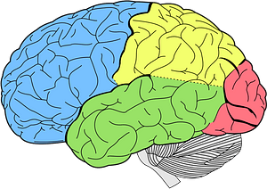 Lobes of the brain clipart