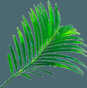 Tamarind leaf clipart