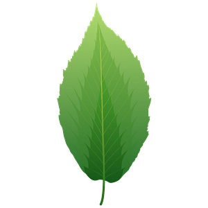 Black birch spring leaf clipart