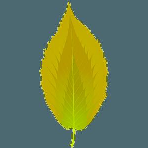 Black birch summer leaf clipart