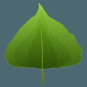 Black poplar spring leaf clipart