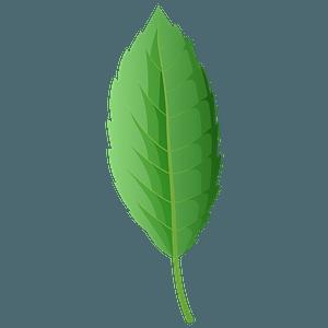 Cork oak spring leaf clipart