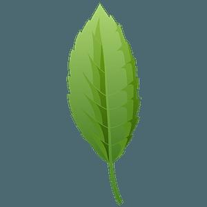 Cork oak summer leaf clipart