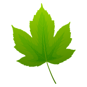 Field maple spring leaf clipart