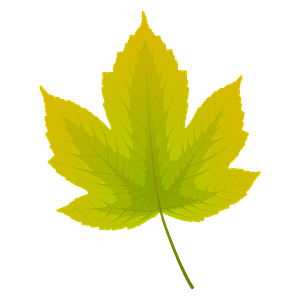 Field maple summer leaf clipart