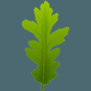 Turkey oak spring leaf clipart