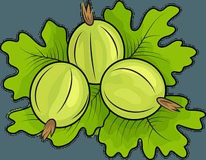 Gooseberries clipart