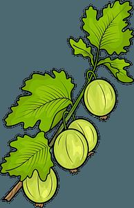 Gooseberry clipart