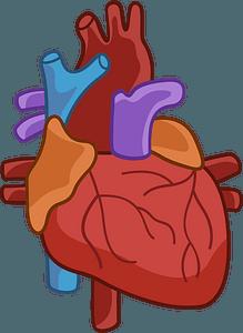 Human heart кліпарт